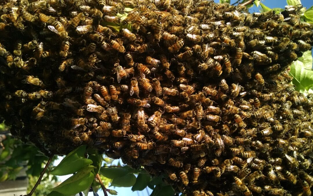 BEE SWARMS – The Magical, Mystical Dance!